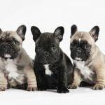 caine Bulldog Francezdiferite culori
