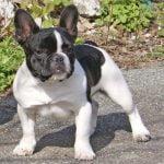 caine Bulldog Francez la plimbare
