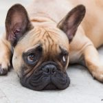 caine Bulldog Francez se odihneste