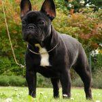 caine Bulldog Francez cu urechi mari in parc