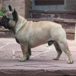 caine Bulldog Francez mascul