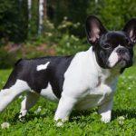 caine Bulldog Francez alb negru