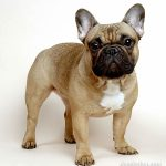 caine Bulldog Francez maro simpatic