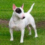 caine Bull terrier