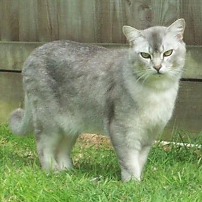 Pisica Burmilla