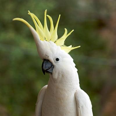 Papagalul Sulfur Galerita