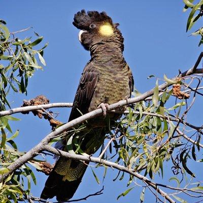 Papagalul Negru cu coada galbena