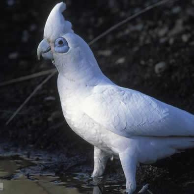 Papagalul cu ochi golasi