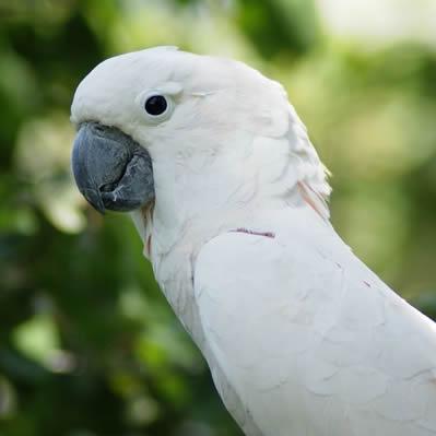Papagalul Umbrela