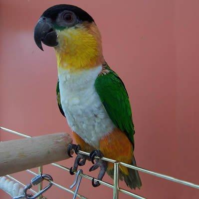 Papagalul Caicul