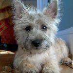 caine Cairn Terrier pozitia culcat