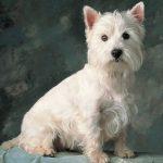 caine Cairn Terrier alb