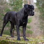 Cane Corso negru caine