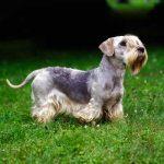caine Cesky Terrier