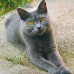 Chartreux pisica in curte