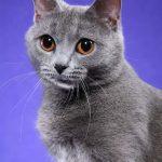 Chartreux pisica cu ochi mari
