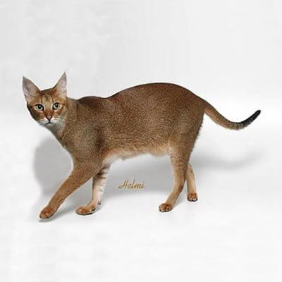 Pisica Chausie