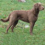 caine Chesapeake bay retriever