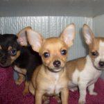 Chihuahua catei mici