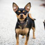 caine Chihuahua negru cu zgarda
