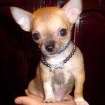 caine Chihuahua in casa cu zgarda