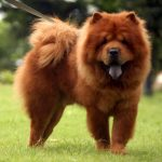 caine Chow Chow in lesa in parc