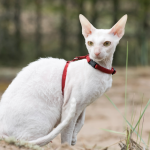 pisica cornish-rex-afara-in-lesa