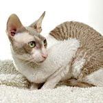 pisica cornish-rex-cu-par-cret