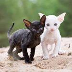 pisici Cornish-Rex-pui-mic-negru si alb