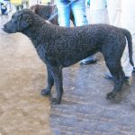caine Curly Retriever
