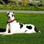 caine Dog german culcat pe iarba