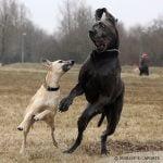 caine Dog german la joaca