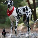 caine Dog german alaturi de chihuahua
