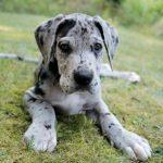 caine Dog german catel tolanit in iarba