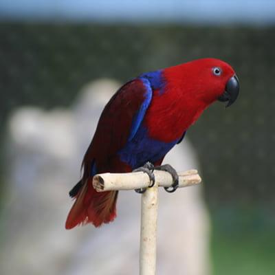 Papagalul Biak Eclectus