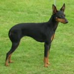 caine English Toy Terrier