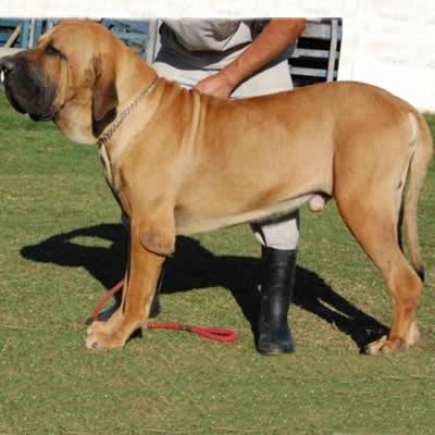 Mastif Brazilian