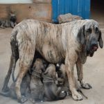 Mastif Brazilian catea cu pui