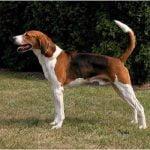 caine Foxhound