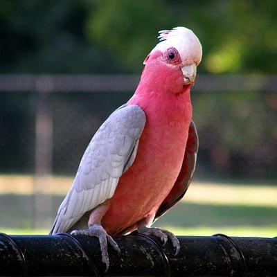 Papagalul Galah