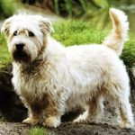caine Glen of Imaal Terrier