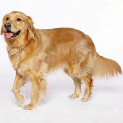 caine Golden Retriever