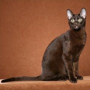 pisica Havana Brown
