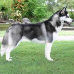 caine Husky Siberian