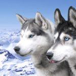caine Husky Siberian caini cu ochi albastri