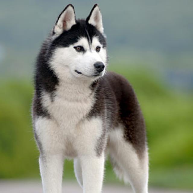 https://www.toateanimalele.ro/wp-content/uploads/2016/05/Husky-Siberian6.jpg