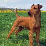 caine Irish Terrier