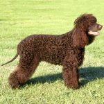 Irish Water Spaniel caine