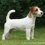 caine Jack Russell Terrier