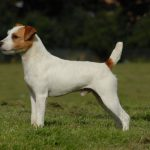 caine Jack Russell Terrier alb
